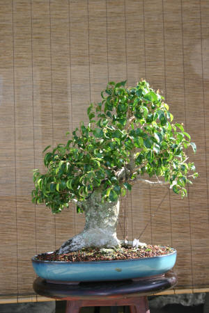 Ficus Too Little styled 1-21-07